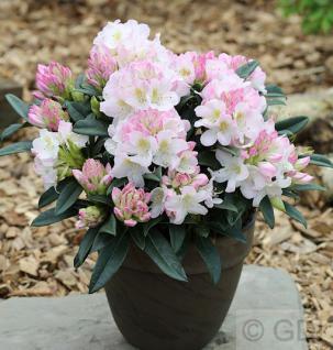 Ur-Wildform Rhododendron 40-50cm - Rhododendron insigne - Vorschau