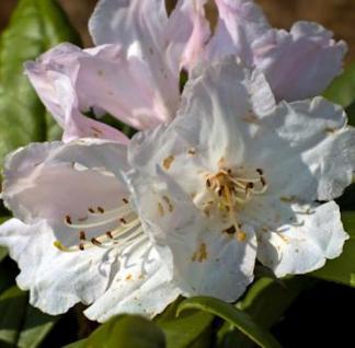 Großblumige Rhododendron Dufthecke weiß 30-40cm - Alpenrose - Vorschau