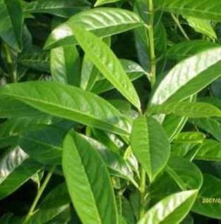 Kirschlorbeer Genolia® 80-100cm - Prunus laurocerasus - Vorschau