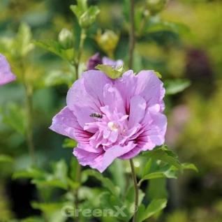 Garteneibisch French Pink Chiffon 60-80cm - Hibiscus - Vorschau