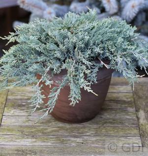 Blauer Kriechwacholder 20-25cm - Juniperus horizontalis - Vorschau