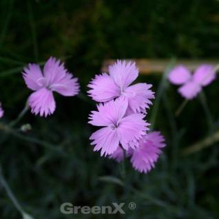 Stengellose Nelke - Dianthus subacaulis - Vorschau