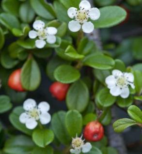 10x Kriechmispel Frieders Evergreen 10-15cm - Cotoneaster dammeri - Vorschau