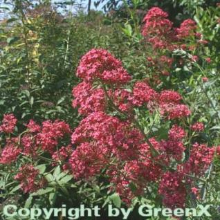 Spornblume Coccineus - Centranthus ruber - Vorschau