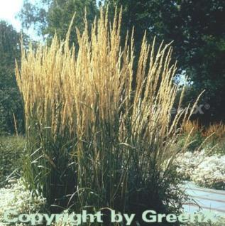 Reitgras Karl Förster - großer Topf - Calamagrostis acutiflora - Vorschau