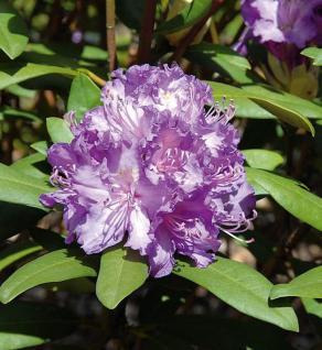 Großblumige Rhododendron Alfred 50-60cm - Alpenrose - Vorschau