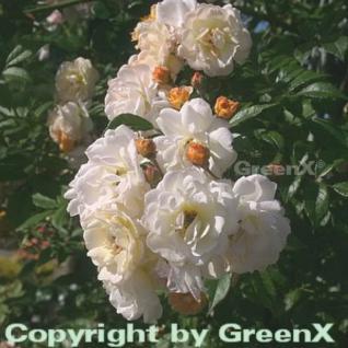 Hochstamm Rose Ghislaine de Feligonde 60-80cm - Vorschau