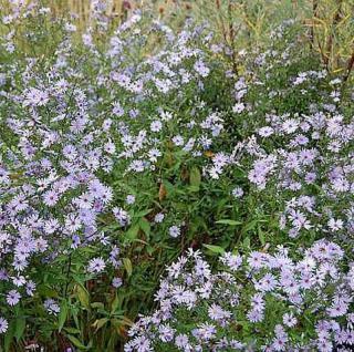 Herbstwild Aster - Aster laevis - Vorschau