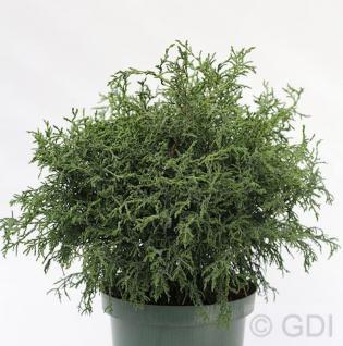 Bizarre Scheinzypresse 30-40cm - Chamaecyparis obtusa - Vorschau