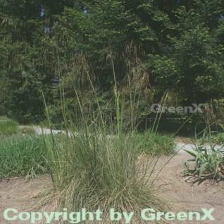 Riesenfedergras - Stipa gigantea - Vorschau