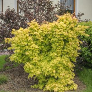 Fächerahorn Wabito 30-40cm - Acer palmatum - Vorschau