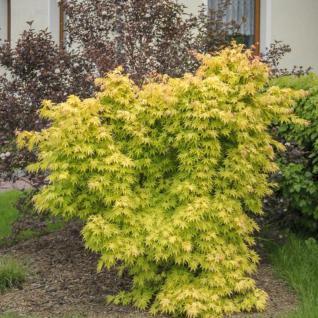 Fächerahorn Wabito 40-60cm - Acer palmatum - Vorschau