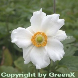 Herbstanemone Honorine Jobert - Anemone japonica - Vorschau