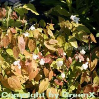 Zierliche Elfenblume - Epimedium youngianum - Vorschau