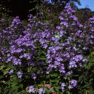 Doldenglockenblume Pouffe - Campanula lactiflora - Vorschau