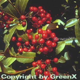 Japanische Fruchtskimmie 25-30cm - Skimmia japonica - Vorschau