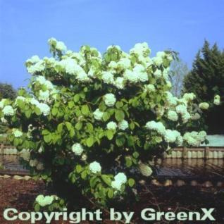 Etagen Schneeball Newport 30-40cm - Viburnum plicatum - Vorschau