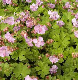 Storchenschnabel Cambridge - Geranium cantabrigiense