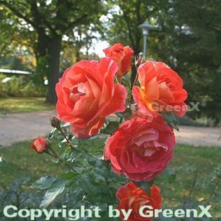Hochstamm Rose Gebrüder Grimm® 40-60cm - Vorschau