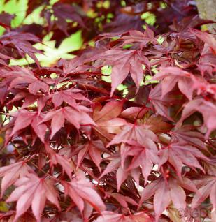 Fächerahorn Fireglow 40-60cm - Acer palmatum - Vorschau