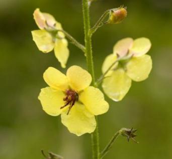 Königskerze Cotswold Queen - Verbascum Hybrid - Vorschau
