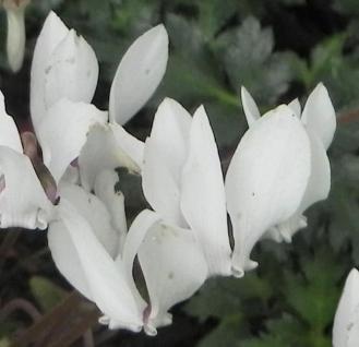 Frühlings Alpenveilchen Album - Cyclamen coum - Vorschau