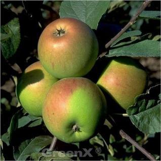 Apfelbaum Erwin Baur 60-80cm - fest und saftig - Vorschau