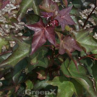 Kolchischer Blutahorn 125-150cm - Acer cappadocicum Rubrum - Vorschau