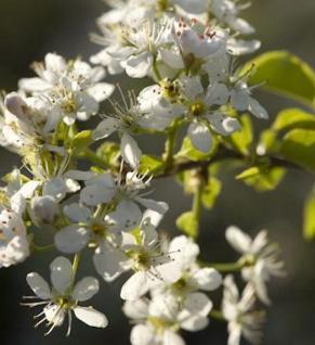 Steinweichsel 80-100cm - Prunus mahaleb - Vorschau
