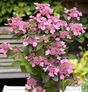 Teller Hortensie Koreana 25-30cm - Hydrangea serrata - Vorschau