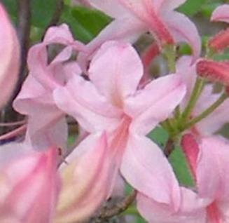 Wilde asiatische Sommergrüne Azalee 40-50cm - Rhododendron periclymenoides - Vorschau
