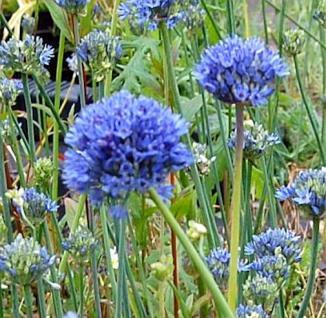 Blumenlauch - Allium caeruleum - Vorschau