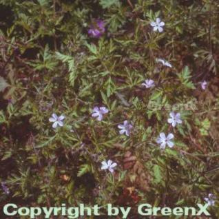 Stinkender Storchschnabel - Geranium robertianum - Vorschau