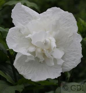 Garteneibisch White Chiffon 80-100cm - Hibiscus syriacus - Vorschau
