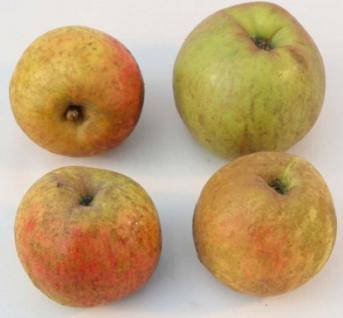 Apfelbaum Schöner aus Boskoop 60-80cm - ein Winterapfel - Vorschau