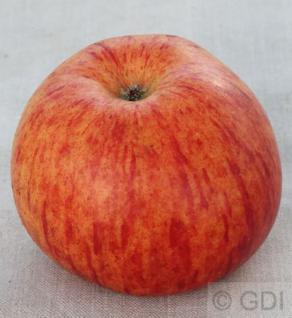 Apfelbaum Herzog von Cumberland 60-80cm - feinwürzig und fest - Vorschau