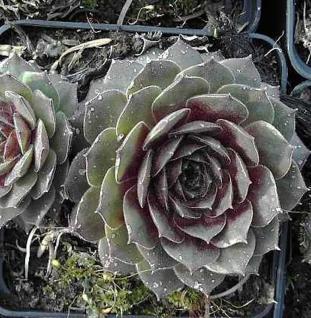 Dachwurz Pink Ruff - Sempervivum cultorum - Vorschau