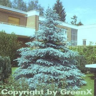 Silberfichte Blaufichte Hoopsii 25-30cm - Picea pungens - Vorschau