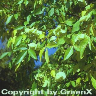 Kleeulme 80-100cm - Ptelea trifoliata - Vorschau