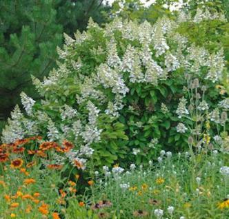 Rispenhortensie Silver Dollar 40-60cm - Hydrangea paniculata - Vorschau