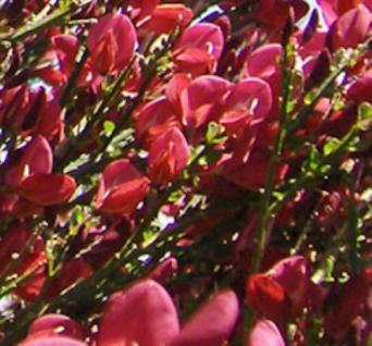 Besenginster Roter Favorit 60-80cm - Cytisus scoparius - Vorschau
