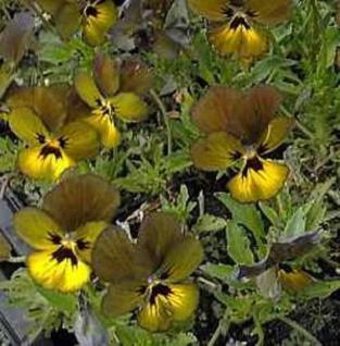 Hornveilchen Irish Molly - Viola cornuta - Vorschau