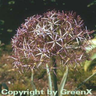 Sternkugellauch - Allium christophii - Vorschau