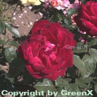 Edelrose Grande Amore® 30-60cm - Vorschau