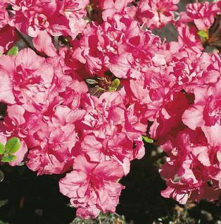 Japanische Azalee Rokoko 15-20cm - Rhododendron obtusum - Alpenrose - Vorschau