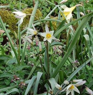 Turkestanische Tulpe - Tulipa turkestanica - Vorschau