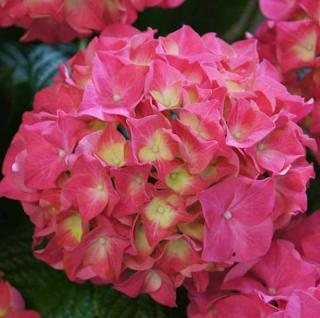 Bauernhortensie Everbloom Red Wonder® 30-40cm - Hydrangea macrophylla - Vorschau