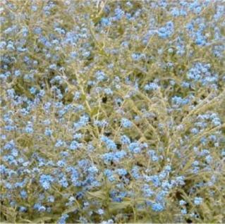Himalaya Hundszunge - Cynoglossum nervosum - Vorschau