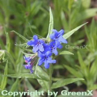 Blauer Steinsamen - Buglossoides purprocerulea - Vorschau