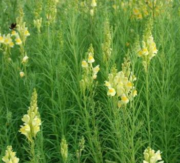 Echtes Leinkraut - Linaria vulgaris - Vorschau